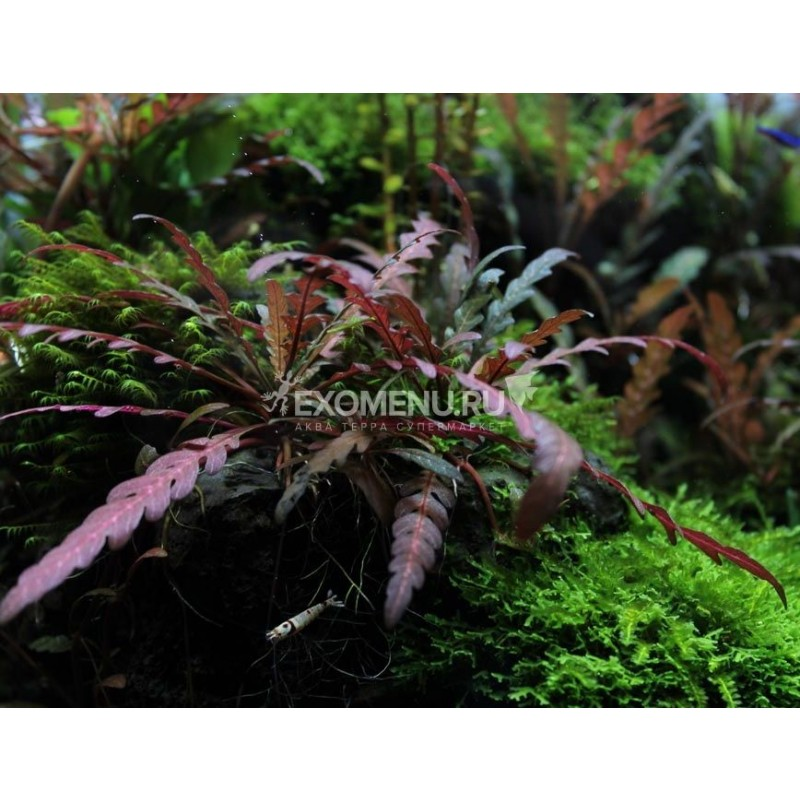 Гигрофила Пиннатифида (Hygrophila pinnatifida) меристемное